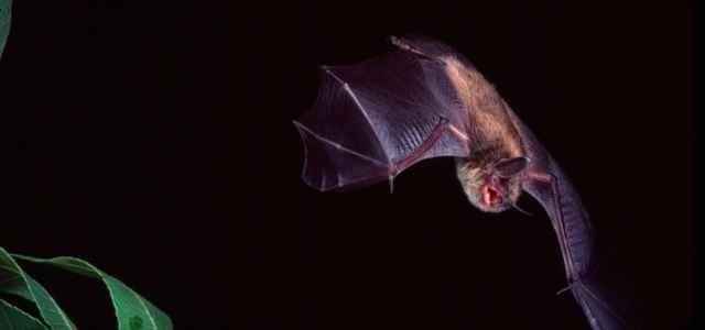 Pipistrello volo lapresse 2020 640x300