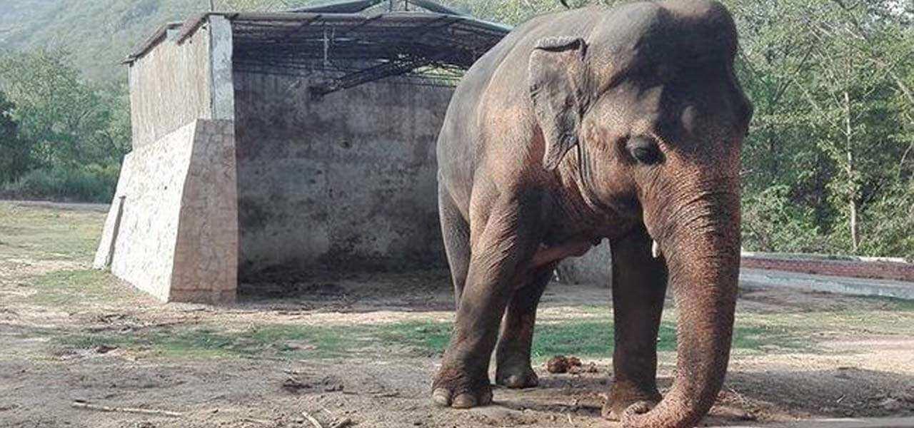 elefante kaavan twitter